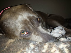 puppy(0.0), snout(0.0), nose(1.0), animal(1.0), dog(1.0), pet(1.0), mammal(1.0), weimaraner(1.0),
