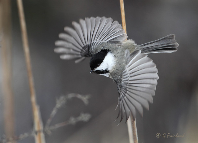 Chickadee Motion