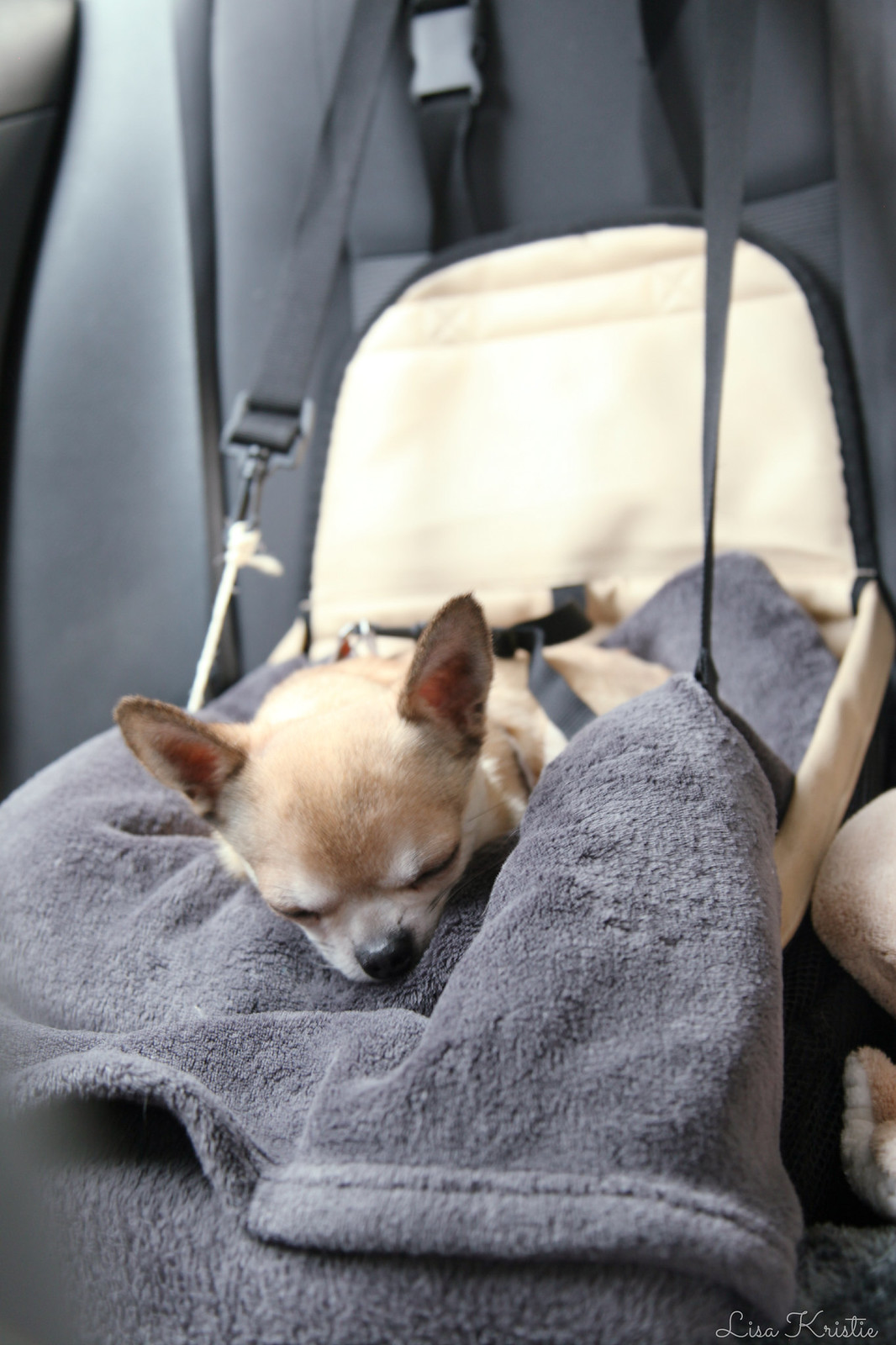 cute chihuahua tiny dog sleeping car seat safety travel seatbelt harness body blanket driving