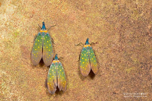 Lantern bug (Pyrops whiteheadi) - DSC_3930