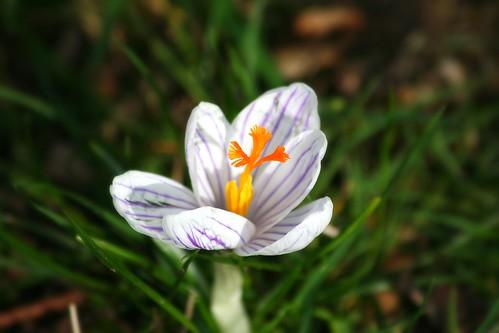 Spring flowers 027