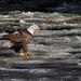 A Sunning Eagle