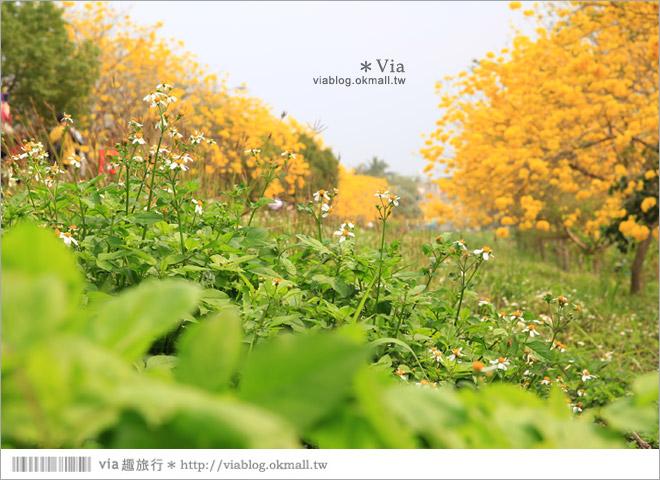 【嘉義景點】嘉義軍輝橋黃金風鈴木~全台最美的堤防!開滿滿的風鈴木美炸了!13