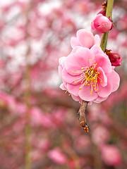 Ume blossom.梅一輪