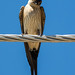 Swallow resting on a powerline
