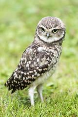 HolderBurrowing Owl.