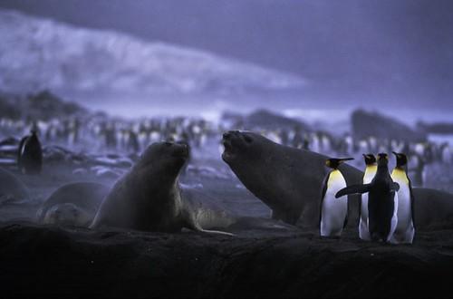 圖說:南極洲的國王企鵝和海豹。