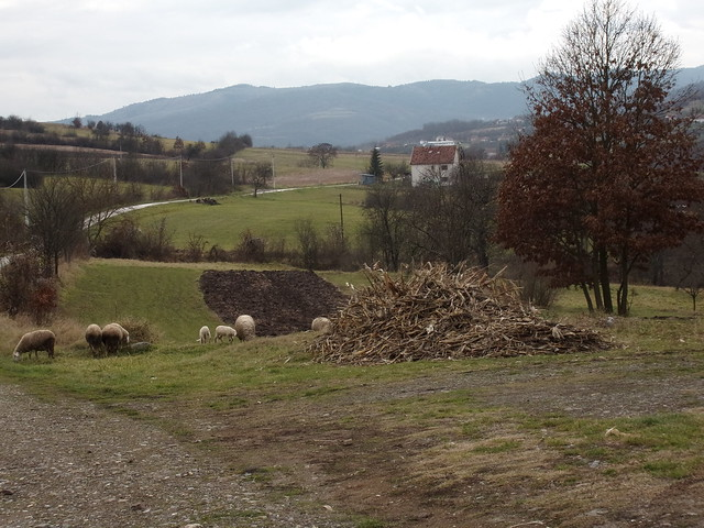 Sheep grazing, Raska Valley