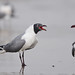 Laughing Gulls by Jerry Ting