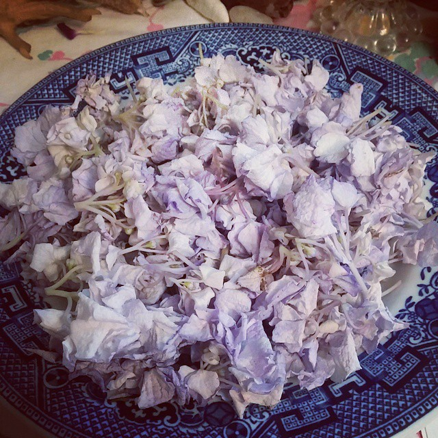 Drying hydrangea blossoms for my Easy Times Conjure Oil  O