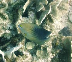 Three Spot Damselfish (2)