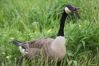 """""""Canada Goose"""" """"Branta canadensis"""""""