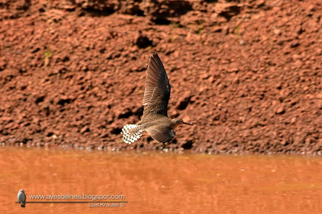 Pitotoy solitario (Solitary Sandpiper) Tringa solitaria