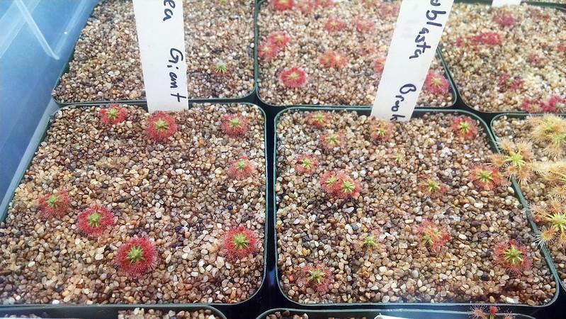Drosera paleacea and Drosera leucoblasta.