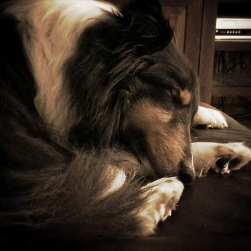 He sleeps #jasper #Sheltie