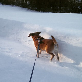 Sophie's favorite thing when we're buried in snow? Running along the snow wall!! I wish it weren't so bitterly cold... We could snow shoe in our backyard. #dogstagram #instadog #snow #winterwonderland
