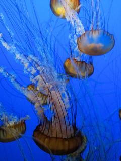 """Sea Nettle (""""Chrysaora Fuscescens""""), Monterey Bay Aquarium, Monterey, California, USA"""