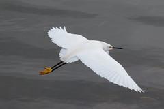 IMG_2295.jpg  Snowy Egret, Lower San Lorenzo River