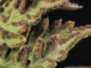 2015-02-28-11.43.04 ZS PMax Aspidotis californica-1