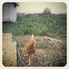 KarijóBe & sua nova casa :D  #eletrochurch #PontaGrossa #CamposGerais #Paraná #Frango #Flango #Chicken #House #Casa #home #lar #hogar #fire #redhead #redneck #galinha #popó #eggs #ovo #fazendacore #farm  Conheça: www.eletrochurch.wordpress.com Curta: www.