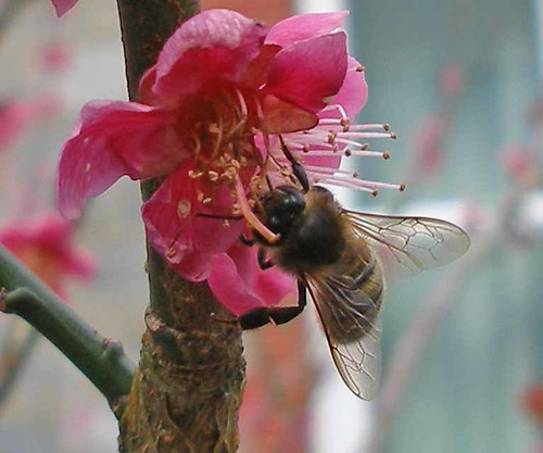 Honeybee on prunus 1