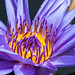 Water Lilly by jfsampsonphotos