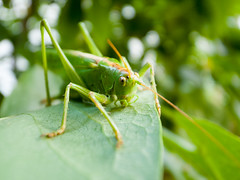 Close-up of a great green bush cricket