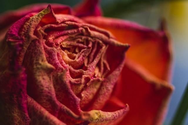 [238] Fading Rose