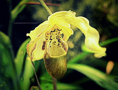 Lady Paphiopedilum with long blonde hair