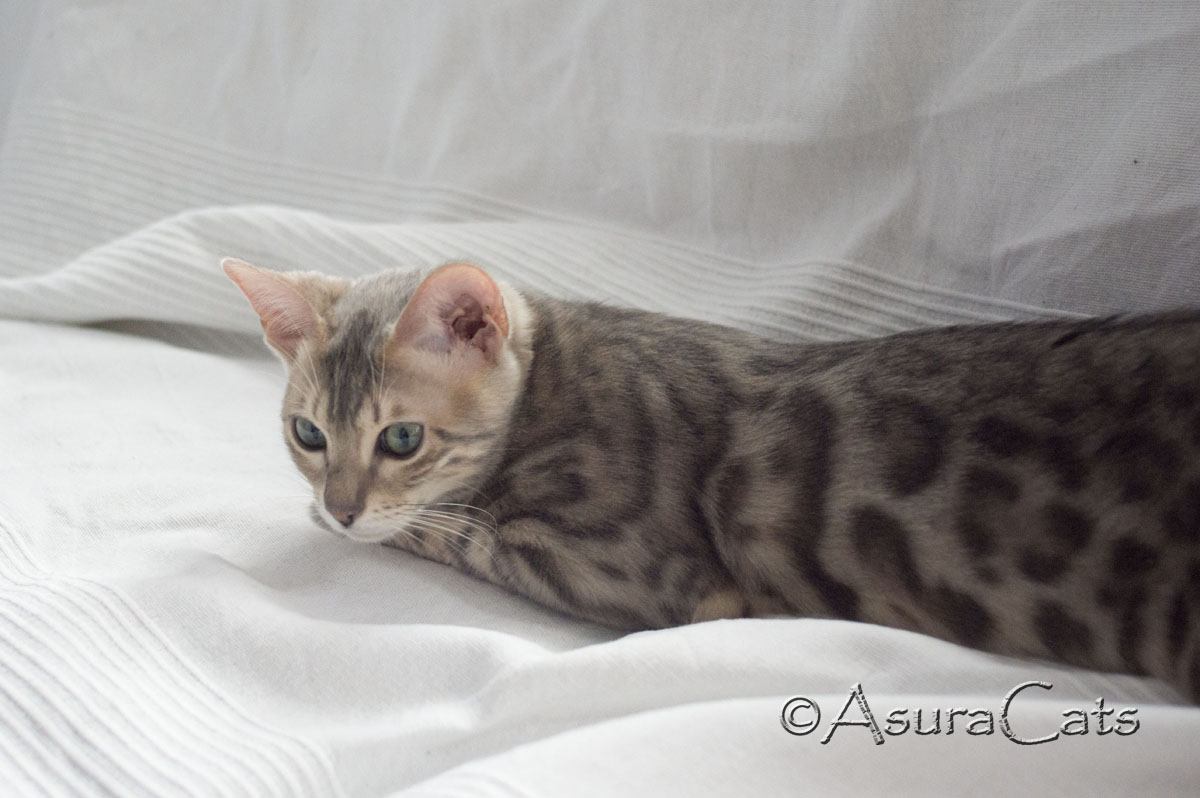LynxLand Amaiah of AsuraCats - Blue rosetted female Bengal