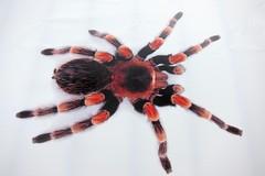 hand(0.0), araneus(0.0), european garden spider(0.0), arthropod(1.0), animal(1.0), spider(1.0), invertebrate(1.0), macro photography(1.0), close-up(1.0), tarantula(1.0),
