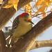 Red-bellied Woodpecker Female by Trish Overton