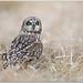 Short-eared Owl by BN Singh