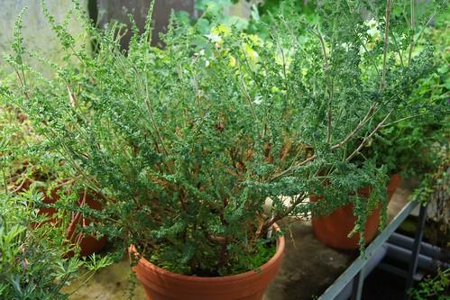 Pelargonium tragacanthoides