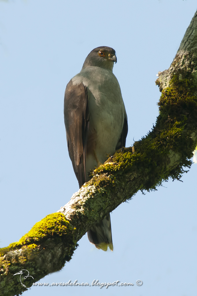 Esparvero variado (Bicolored Hawk) Accipiter bicolor