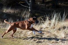 pointer(0.0), vizsla(0.0), animal(1.0), dog(1.0), pet(1.0), mammal(1.0), hunting dog(1.0),