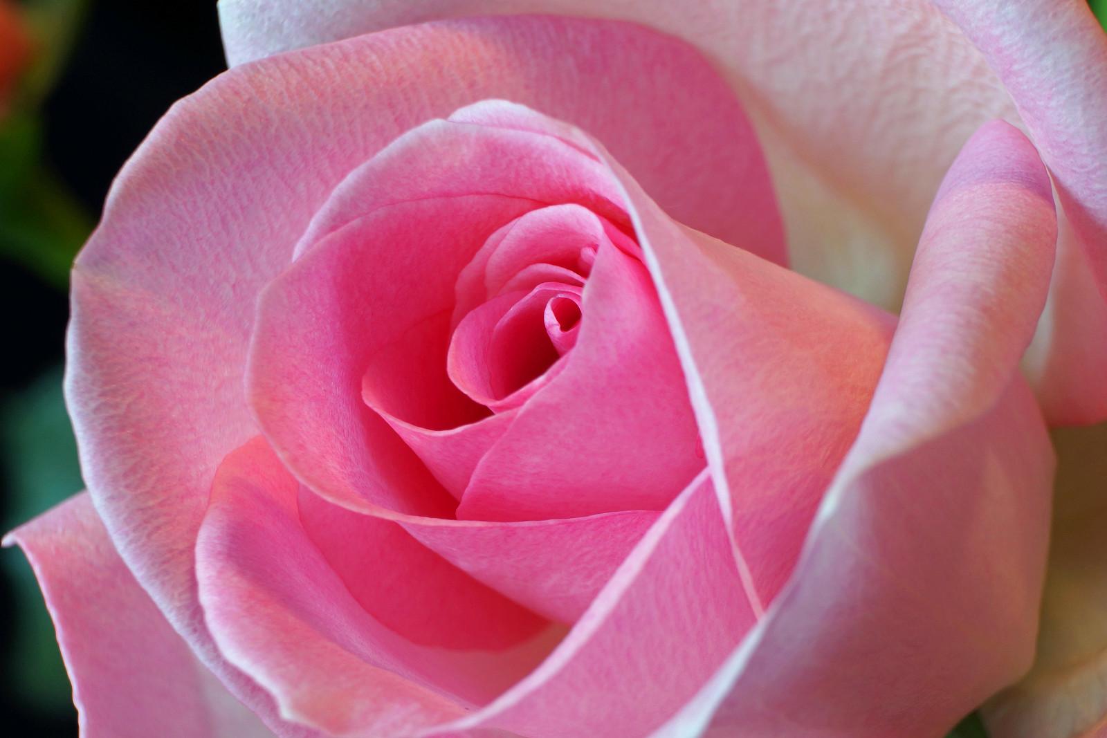 Valentine's Pink