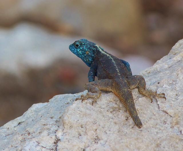 Lagarto azul de El Cabo (Sudáfrica)