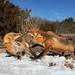 Fox fight! by justbelightful