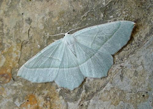 Light Emerald. Campaea margaritata......see list