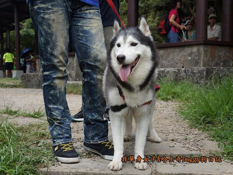 哈士奇Doggy2013陽明山二子坪15