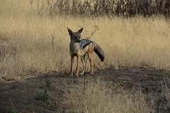 Black-backed jackal, Ngorongoro Conservation Area (3)