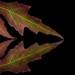 Maple Leaf, Negative Space by KellarW