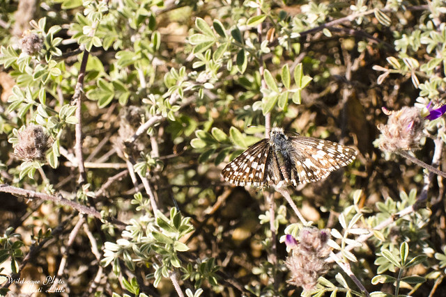 commoncheckeredskipper