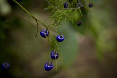 Blue Berries