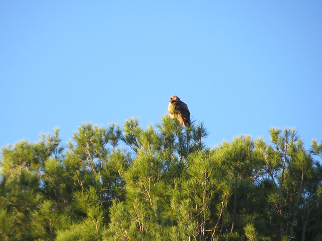 hawk in morning sun