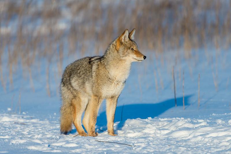 1412_0414 Coyote