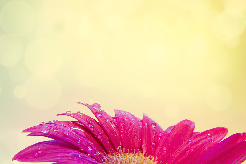 Gerbera flower with raindrops