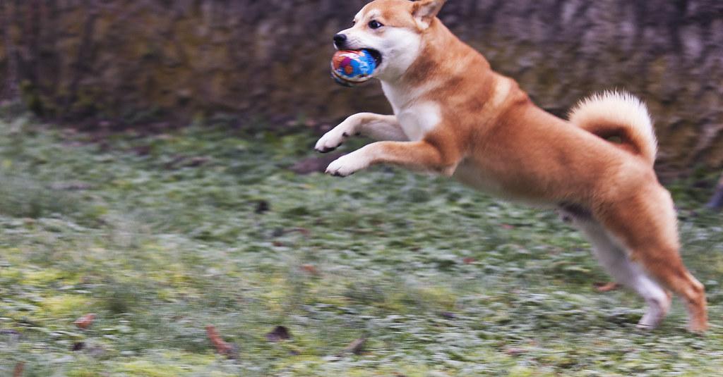 Flying Shiba
