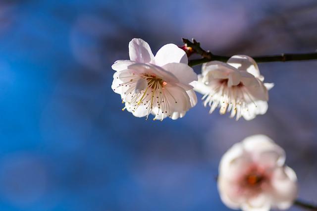 早咲きの白梅@武蔵丘陵森林公園・梅園